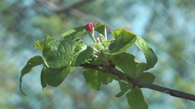 Blossoming apple-tree. Apple twig with leaves and a bud stock footage