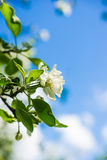 Blossoming apple tree under the blue sky stock photography