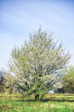 Blossoming apple tree with white flowers Stock Images