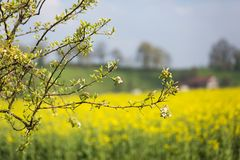 Blossoming Apple Tree with Yellow Rapeseed Field in Blurred Back royalty free stock photos