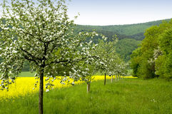 Blossoming of the apple trees. A row of blossoming apple trees leading downhill along a blooming canola field stock photos