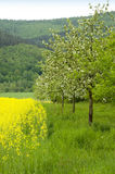 Blossoming apple trees. A row of blossoming apple trees leading downhill along a blooming canola field stock photography