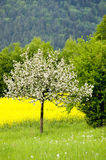 Blossoming of the apple trees. A blossoming apple tree with a blooming canola field.With space for copy stock photos