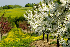 Blossoming of the apple trees. Rows of blossoming apple trees with many flowering dandelions in between leading downhill stock images