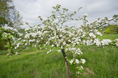 Blossoming Apple Trees Royalty Free Stock Images