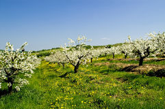 Blossoming of the apple trees. Rows of blossoming apple trees with many flowering dandelions in between leading downhill royalty free stock photos