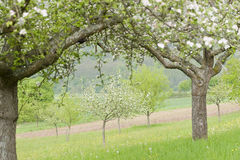 Blossoming Apple Trees Royalty Free Stock Photo