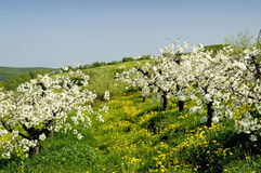 Blossoming of the apple trees. Rows of blossoming apple trees with many flowering dandelions in between leading downhill stock image