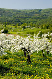 Blossoming of the apple trees. Blossoming apple trees with many flowering dandelions in between leading downhill stock images