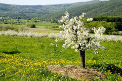 Blossoming of the apple trees. Rows of blossoming apple trees with many flowering dandelions in between leading downhill stock photography