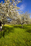 Blossoming apple-trees Royalty Free Stock Photography