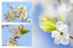 Blossoming apple trees Royalty Free Stock Photography