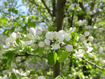 Blossoming apple-trees. And bee сollecting nectar Royalty Free Stock Photos