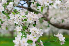 Blossoming Apple Trees. With White beautiful Flowers royalty free stock image