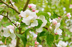 Blossoming of apple trees Royalty Free Stock Images
