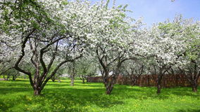 Blossoming apple-trees  in an garden stock video footage