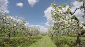 Blossoming apple trees  in industrial  garden. Timelapse 4K stock footage
