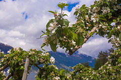 Blossoming of the apple trees in Norway Stock Photos