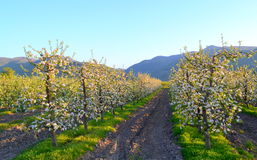 Blossoming apple trees Stock Photo
