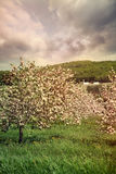 Blossoming apple trees in spring Royalty Free Stock Image