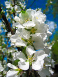 Blossoming apple. White flowers of apple trees against the blue sky Stock Photos