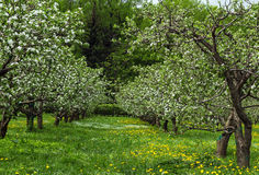 Blossoming appletree garden. In Moscow Stock Photo