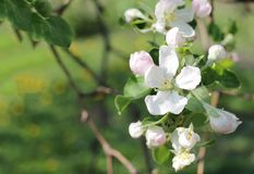 Blossoming of appletree. Several flowers of blooming apple Royalty Free Stock Image