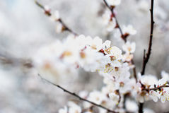Blossoming apricot Royalty Free Stock Photography