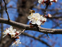 Blossoming apricot. Branch of blossoming apricot bee blue sky Stock Image