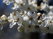 Blossoming apricot. Branch of blossoming apricot bee blue sky Royalty Free Stock Image