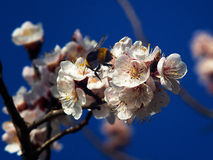 Blossoming apricot. Branch of blossoming apricot bee blue sky Royalty Free Stock Photography
