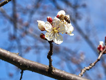 Blossoming apricot. Branch of blossoming apricot bee blue sky Royalty Free Stock Images