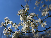 Blossoming apricot. Branch of blossoming apricot blue sky Royalty Free Stock Images