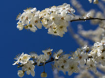 Blossoming apricot. Branch of blossoming apricot blue sky Royalty Free Stock Photo