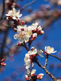 Blossoming apricot. Branch of blossoming apricot  blue sky Stock Images