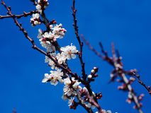 Blossoming apricot. Branch of blossoming apricot blue sky Stock Photography
