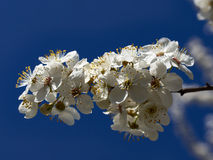Blossoming apricot. Branch of blossoming apricot blue sky Stock Photos