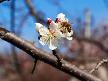 Blossoming apricot. Branch of blossoming apricot  blue sky Royalty Free Stock Photos