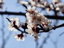 Blossoming apricot. Branch of blossoming apricot  blue sky Royalty Free Stock Image