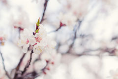 Blossoming apricot in spring Royalty Free Stock Photos