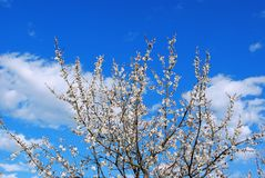 Blossoming apricot tree against the sky with clouds. Close-up Royalty Free Stock Photo