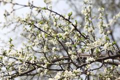 Blossoming of apricot tree flowers Royalty Free Stock Images