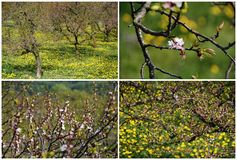 Blossoming of apricot trees Royalty Free Stock Photo