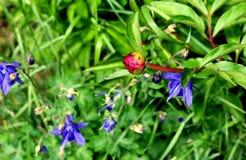 Blossoming aquilegia Стоковые Изображения