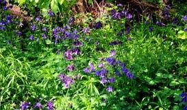 Blossoming aquilegia Стоковые Фотографии RF
