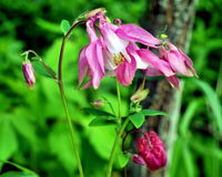 Blossoming aquilegia Royalty Free Stock Photography
