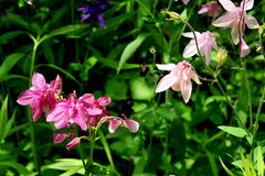Blossoming aquilegia Royalty Free Stock Images