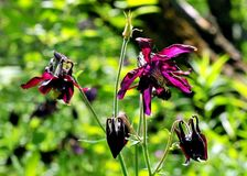 Blossoming aquilegia Royalty Free Stock Photo