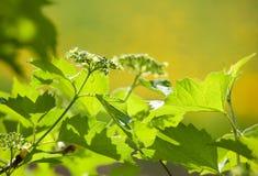Blossoming arrowwood bush. In sunny day Stock Photo