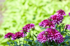 Blossoming of autumn aster flower Royalty Free Stock Photography